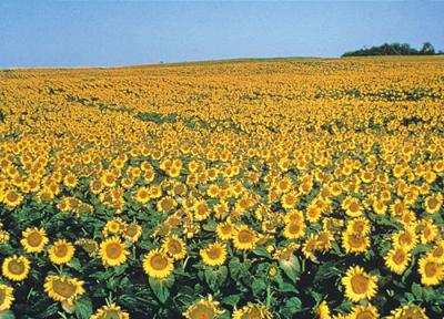 sunflower field (03/21)