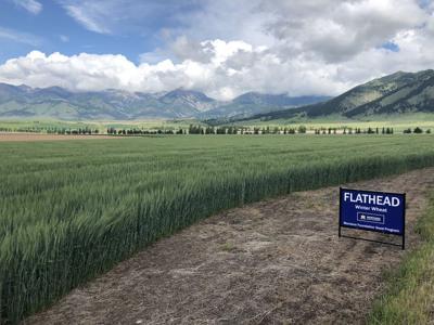 flathead wheat