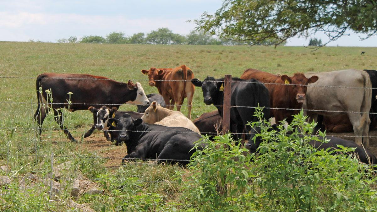 Missouri cattle