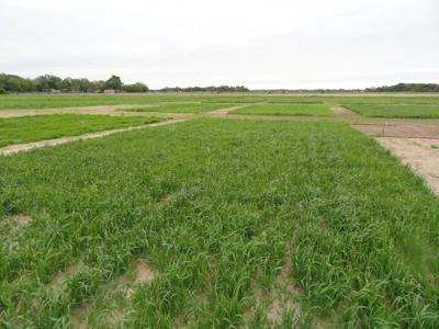 K-State researchers part of coalition focused at increasing sustainability with cover crops