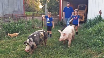 hog walking practice