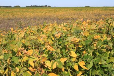 Travers County Soybeans