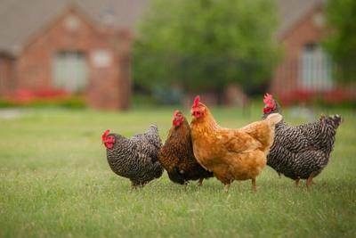 OSU chickens