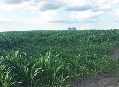 Corn replant
