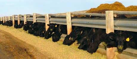 Peterson seedstock bulls