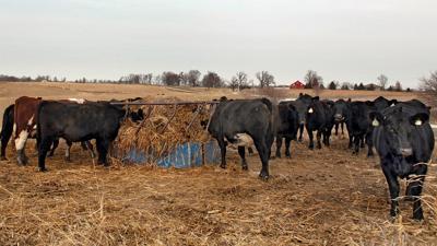Winter cattle feeding