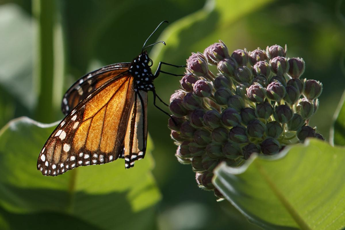 Monarch butterfly sits on milkweed