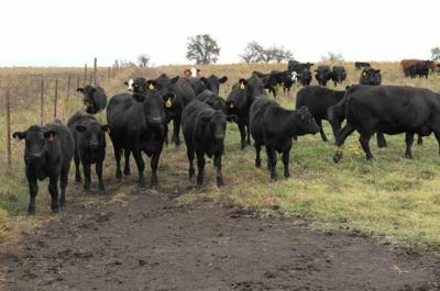 Cattle Hoof Diseases