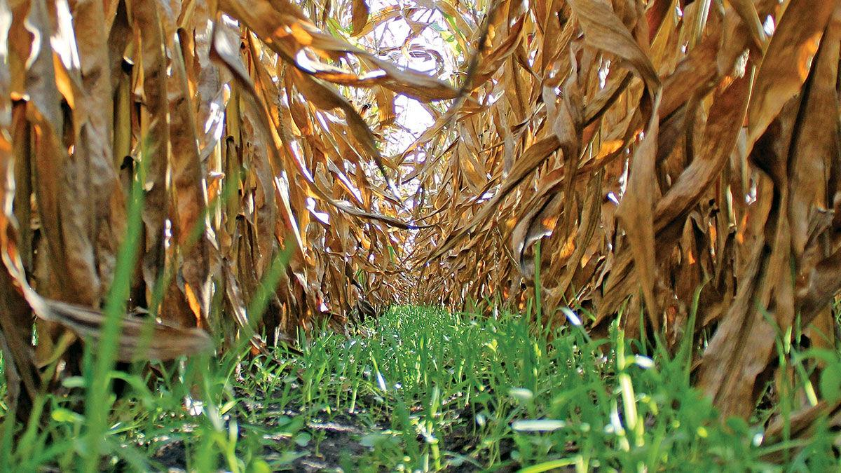 Cover crop in corn rows