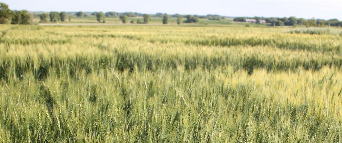Wheat Trial Benson, MN 2018