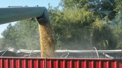Soybeans into truck