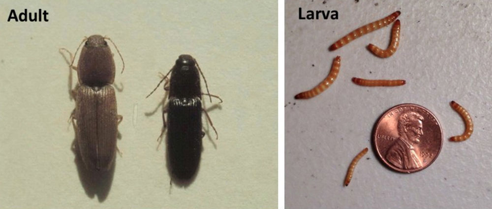Research Needed To Better Understand Wireworms Click Beetles