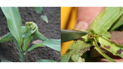 Stalk borer larvae