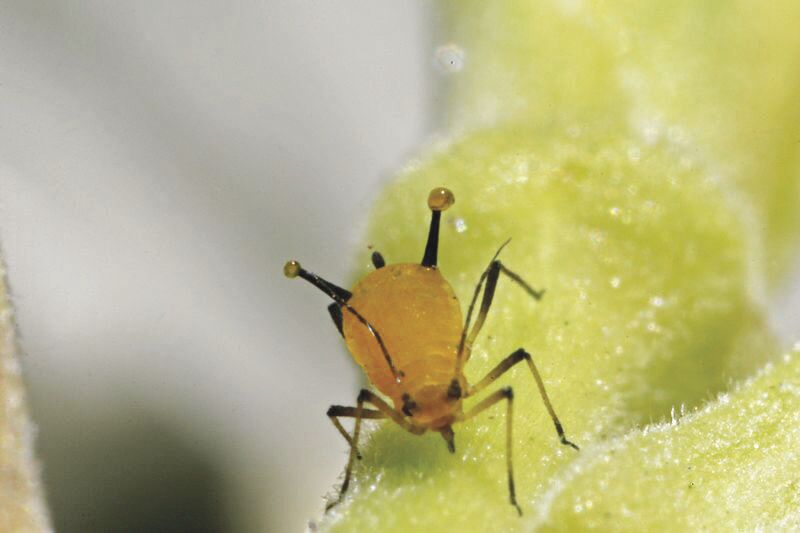 aphid excreting