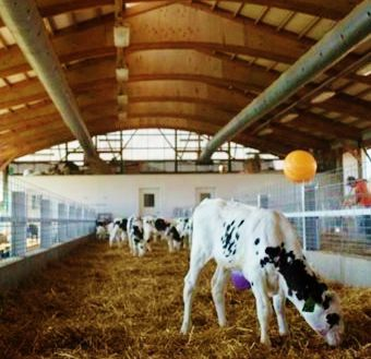 Calf barn with positive-pressure ventilation system