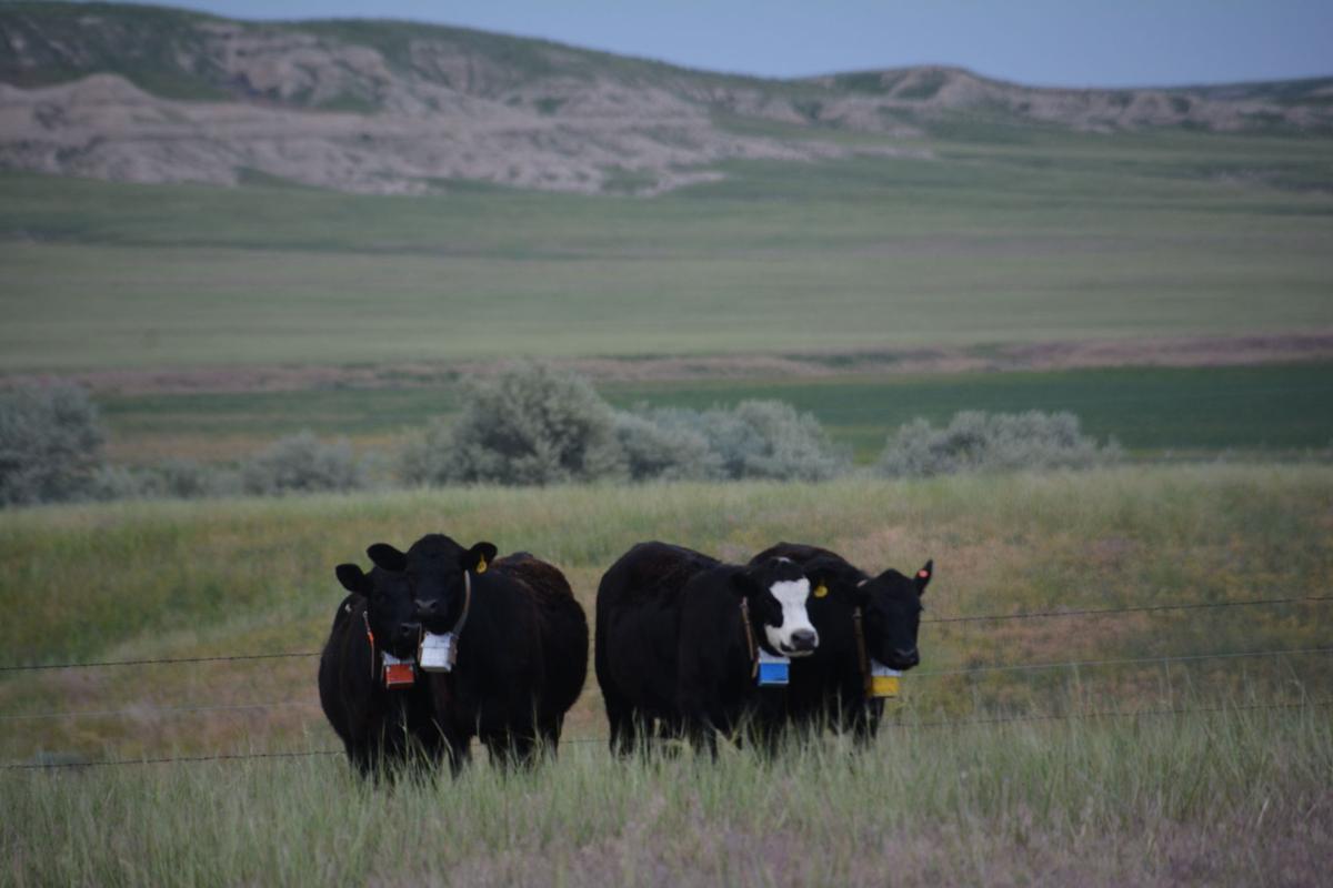 Cattle gps 2