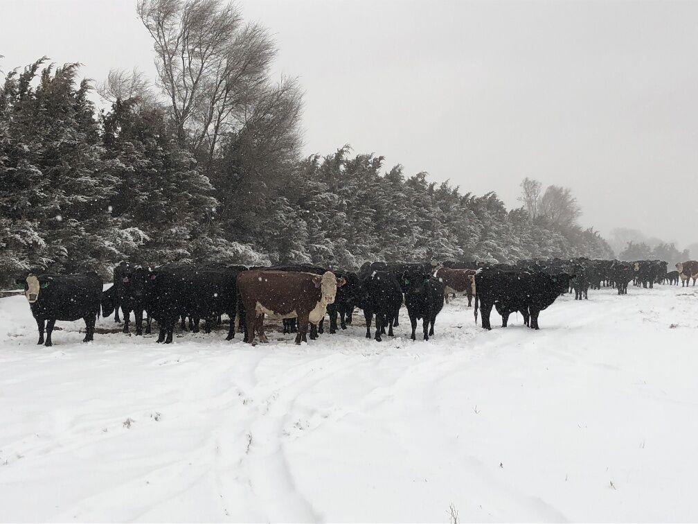 Cattle at shelter belt