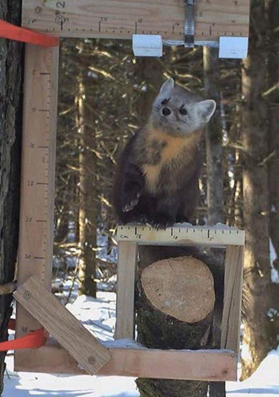 Marten in trail cam box