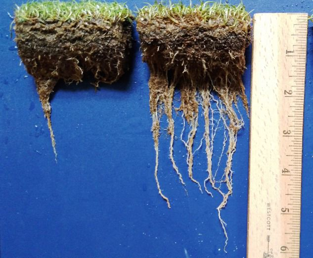 Turfgrass root-growth comparison