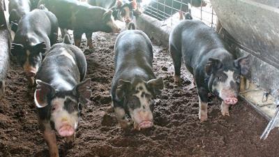 Berkshire hog breed