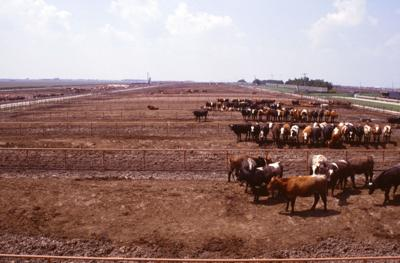 feedlot manure