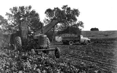 Beet harvest 1952