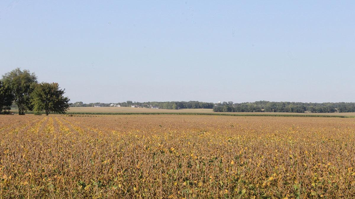 Mature soybean field