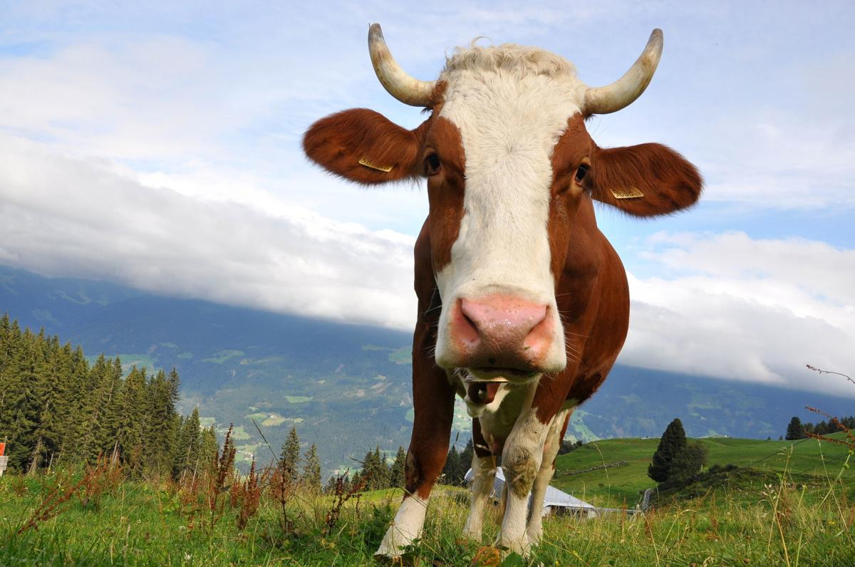 Holstein cow in mountains