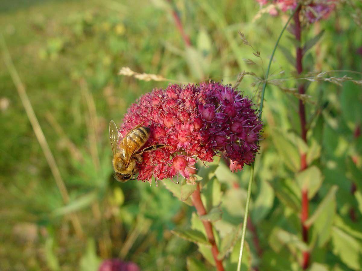Honey bee collects pollen