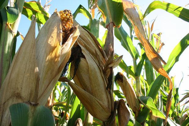Corn drydown