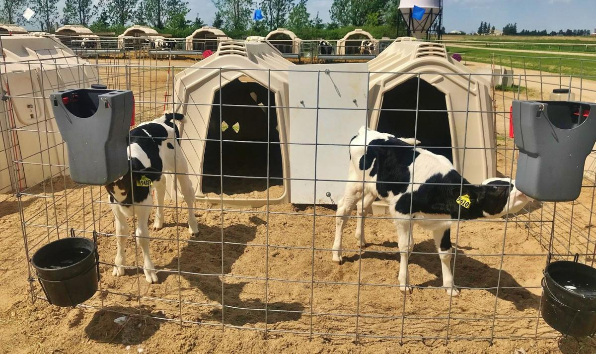 Calves in hutch