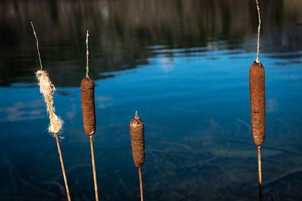 Aquatic plants in farm ponds cattails