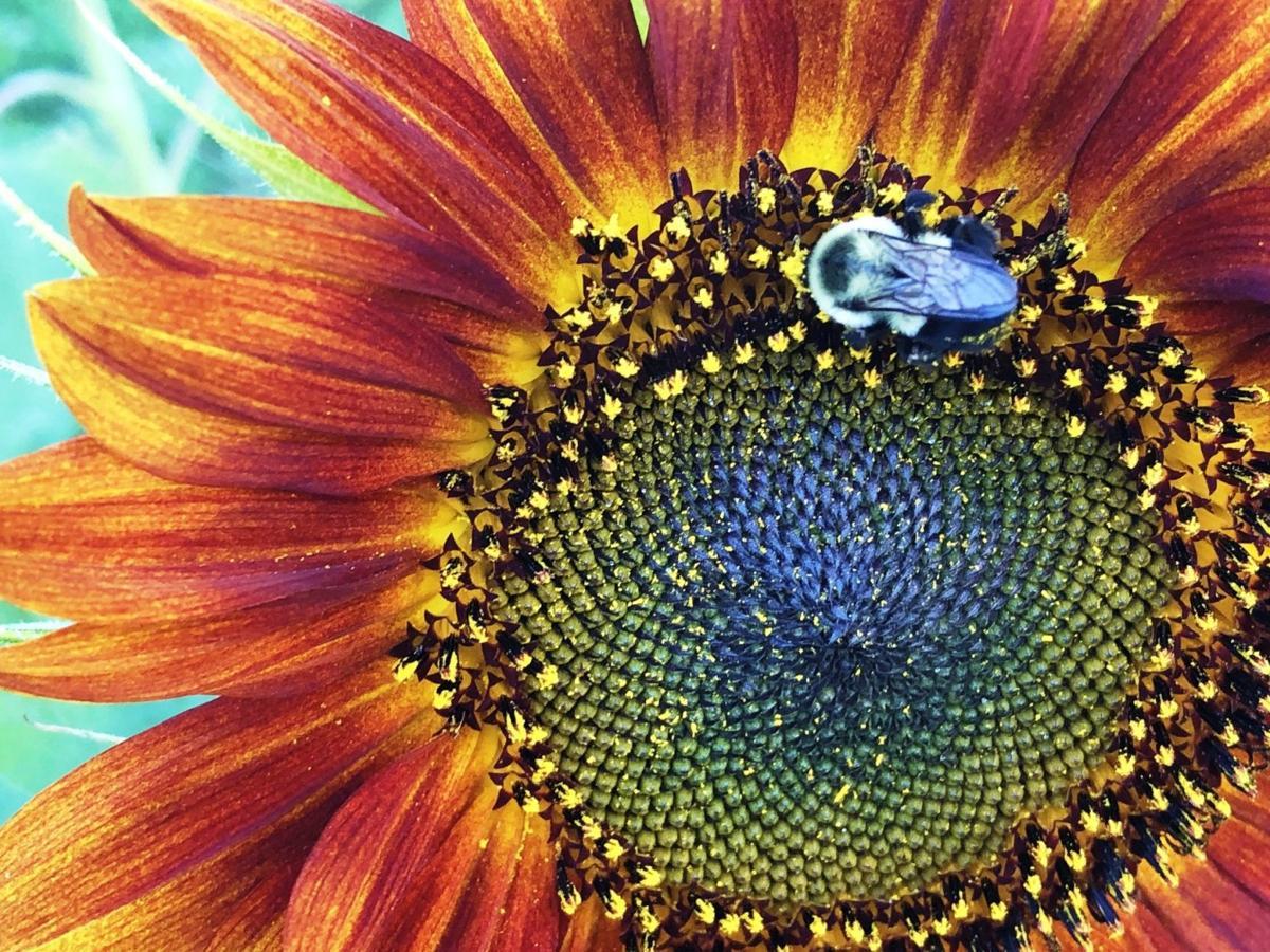 Bee lands on sunflower