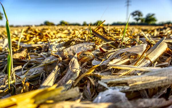 Grazing corn residue