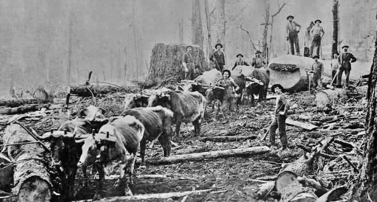 Logging crew works with oxen