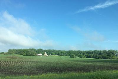 Corn in June