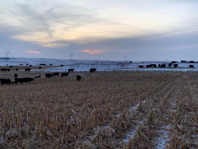 Heinrich cows on corn stalks