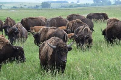 Bison at Blue Mounds