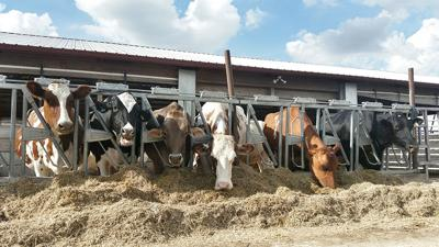 Dairy cows at feeder