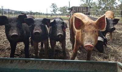 Pandemic swine