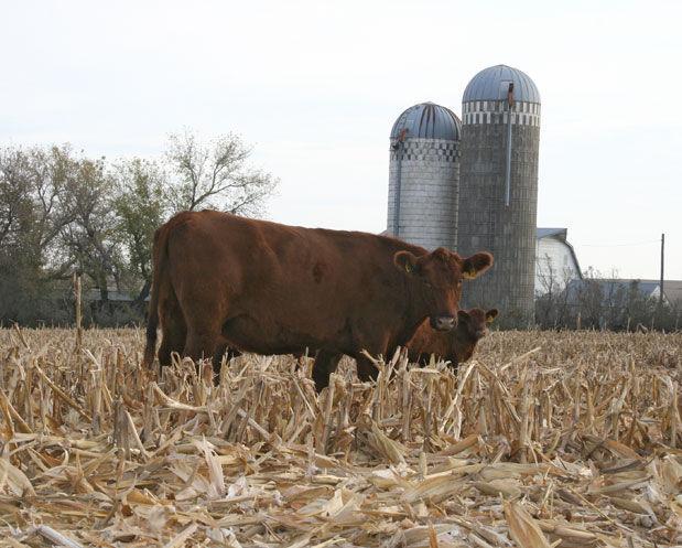 Corn residue grazing