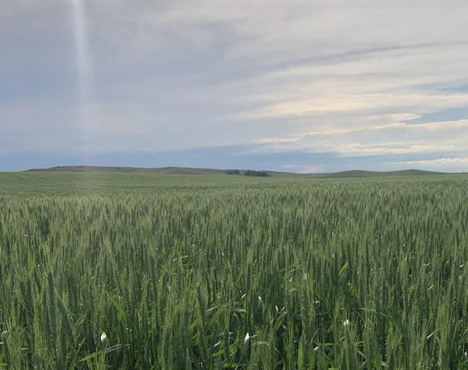 Beautiful wheat