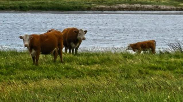 Herefords at Stroh Hereford Ranch