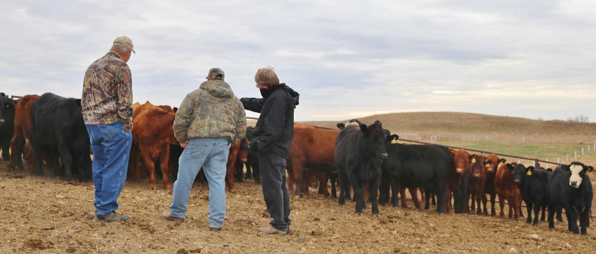 ringwall leaves beef research legacy news