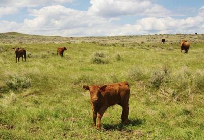 Calf on grasslands