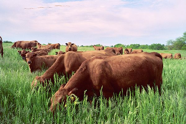 Tarentaise grazing