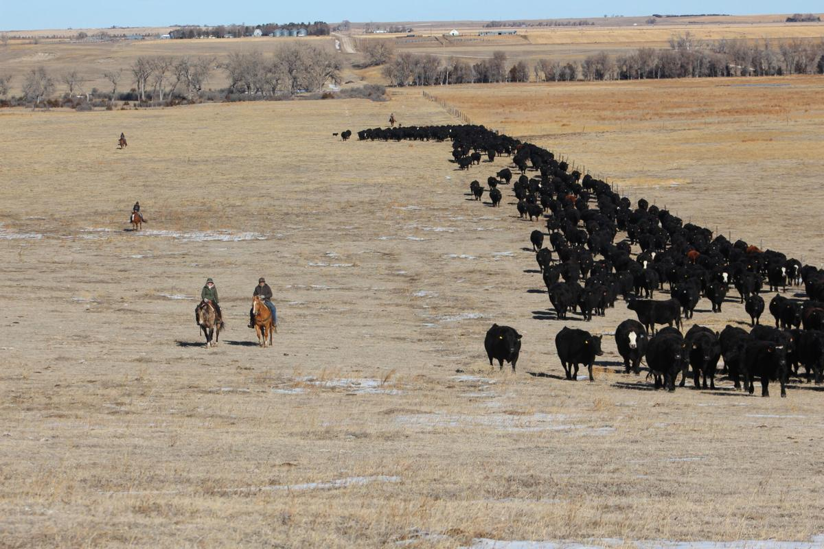 Cattle move