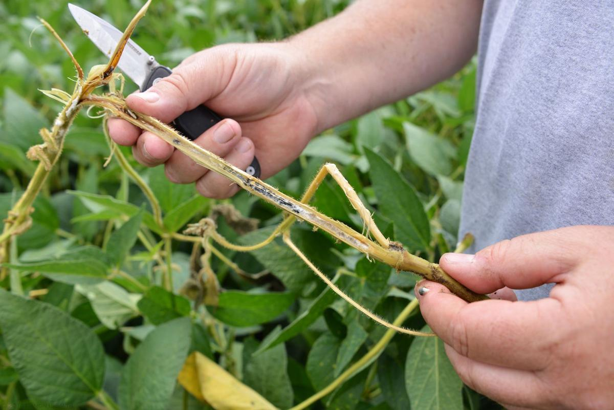 White-mold sclerotia in soybean stem
