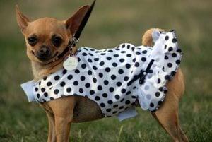 Cinco de Mayo Celebration & Chihuahua Races