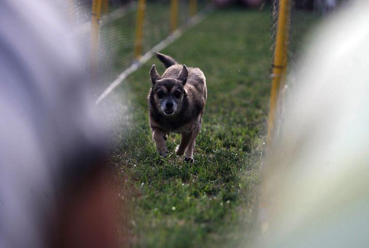 Chihuahua races